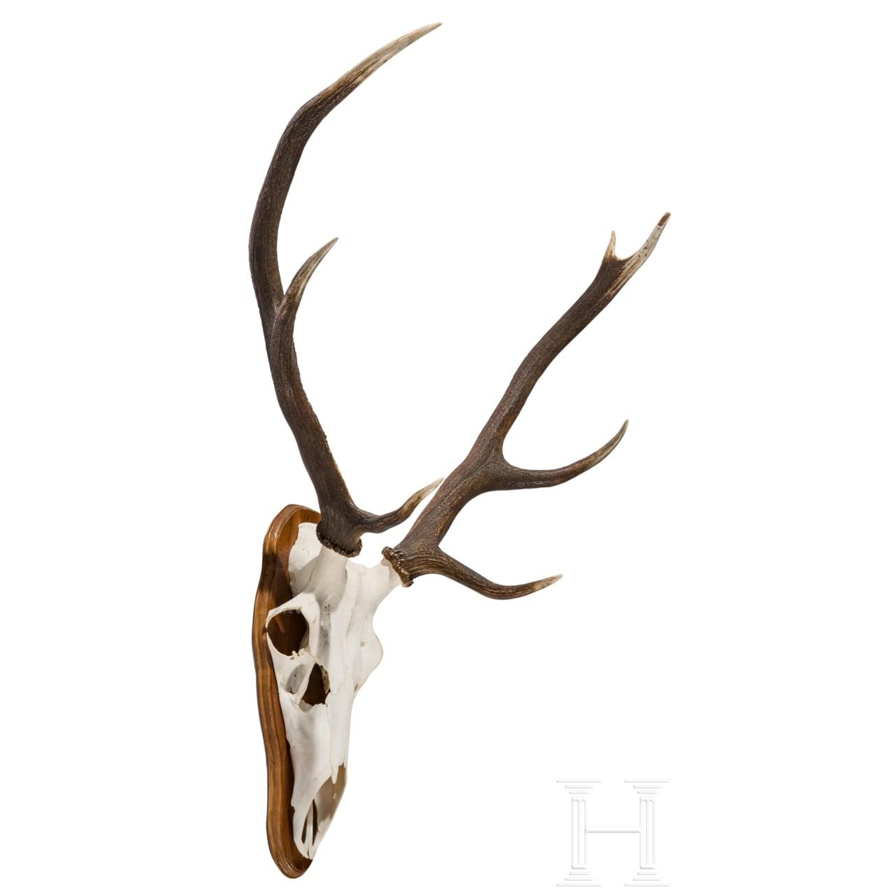A Swedish red deer's head, 20th century