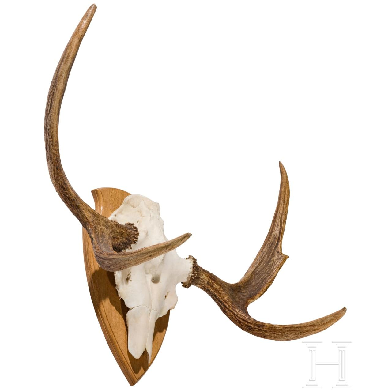 A Swedish moose's head, 20th century