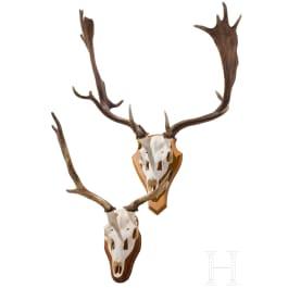 Two Swiss or Scandinavian fallow deer heads, 20th century