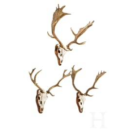 Three Swiss or Scandinavian fallow deer heads, 20th century